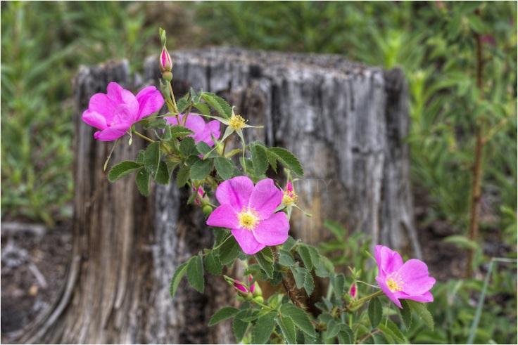 colorado-wildflowers-wild-roses